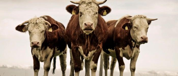 Drei Rinder auf Berg - Flo Dahm