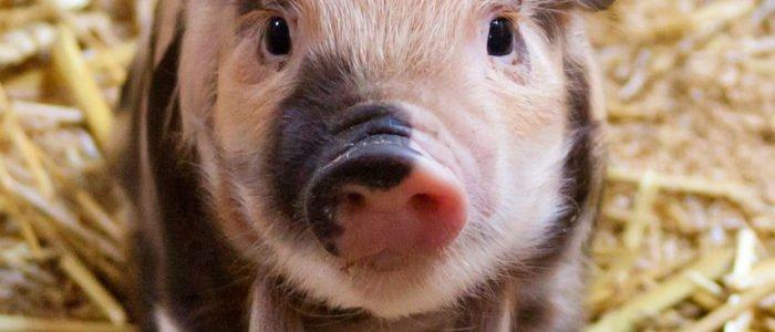Ferkelkastration: Große Koalition beschädigt den Tierschutz!